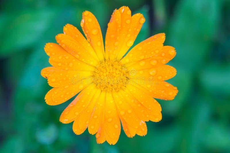 Πορτοκαλί λουλούδι Calendula με την κινηματογράφηση σε πρώτο πλάνο πτώσεων νερού στοκ φωτογραφίες