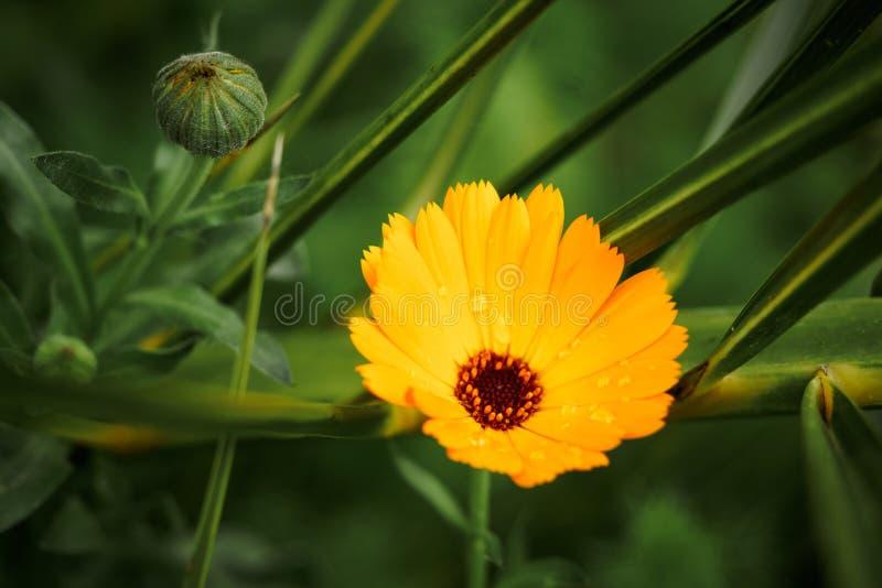 Πορτοκαλί λουλούδι calendula, officinalis calendula Λουλούδι με τις πτώσεις νερού βρ στοκ εικόνες