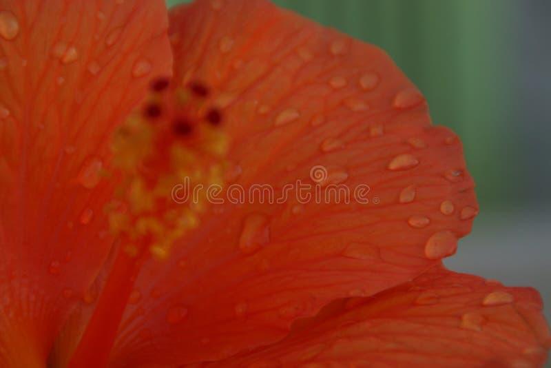 Πορτοκαλί νερό πετάλων και πτώσεων στοκ φωτογραφία
