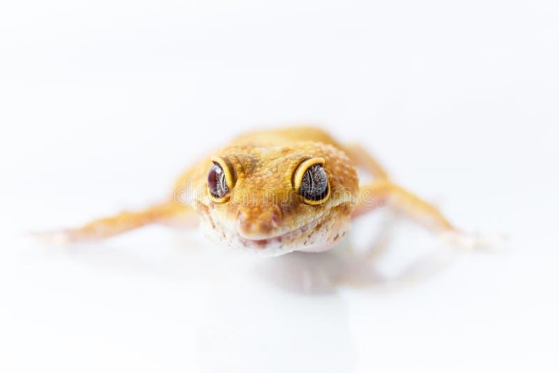 Πορτοκαλί περπάτημα gecko λεοπαρδάλεων στοκ εικόνες