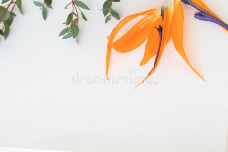 Πορτοκαλί πουλί reginae Strelitzia του παραδείσου στο άσπρο υπόβαθρο Λουλούδια στοκ φωτογραφία