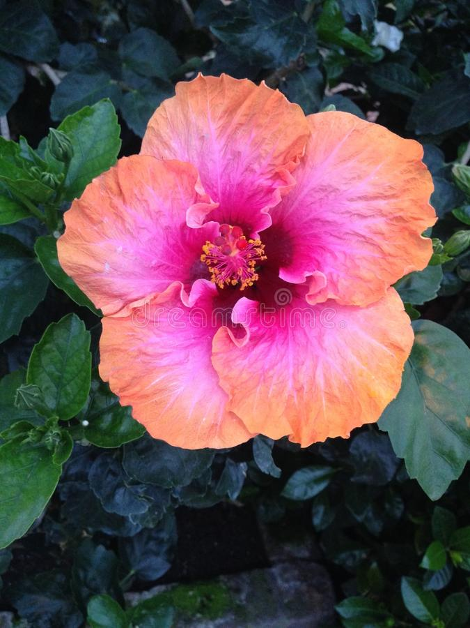 Πορτοκαλί ρόδινο πορφυρό λουλούδι στο Μπους στοκ εικόνα