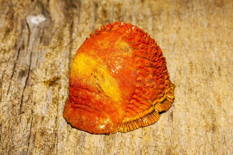 πορτοκαλί σαλιγκάρι στοκ φωτογραφία