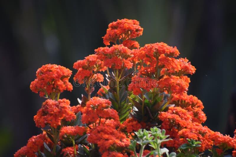 Πορτοκαλί υπόβαθρο λουλουδιών από τον κήπο στοκ εικόνες