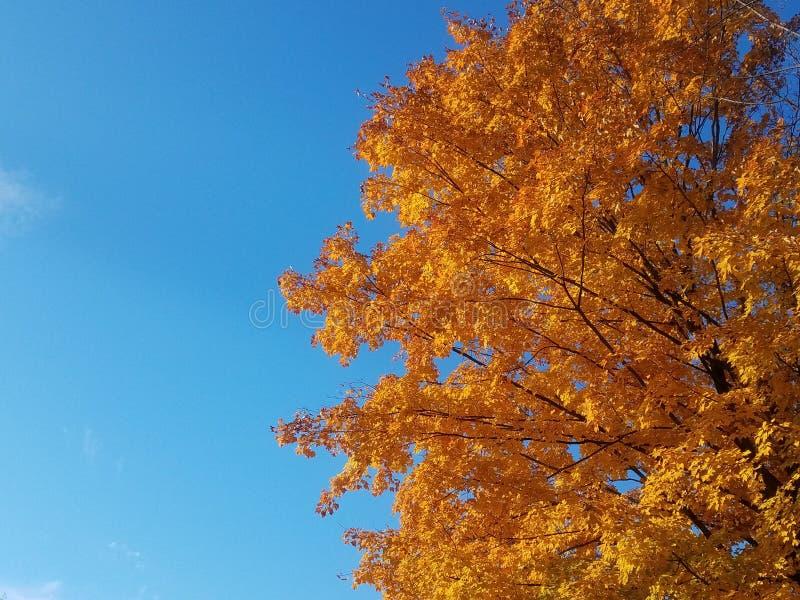 Πορτοκαλί φθινοπωρινό δέντρο σφενδάμνου στοκ εικόνες