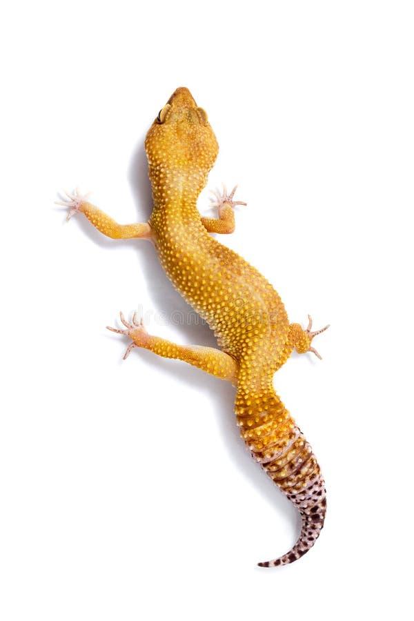 Πορτοκαλί gecko λεοπαρδάλεων που περπατά και που κοιτάζει προς τα εμπρός στο άσπρο backgr στοκ φωτογραφία με δικαίωμα ελεύθερης χρήσης