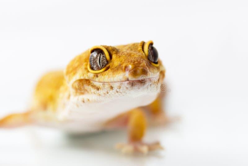 Πορτοκαλί gecko λεοπαρδάλεων στοκ εικόνες με δικαίωμα ελεύθερης χρήσης