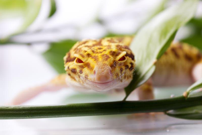 Πορτοκαλί gecko λεοπαρδάλεων στοκ φωτογραφία