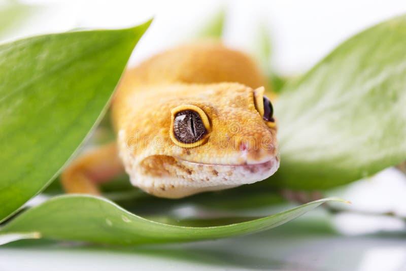 Πορτοκαλί gecko λεοπαρδάλεων στοκ εικόνα με δικαίωμα ελεύθερης χρήσης