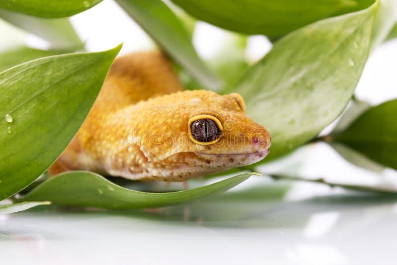 Πορτοκαλί gecko λεοπαρδάλεων στοκ φωτογραφίες με δικαίωμα ελεύθερης χρήσης