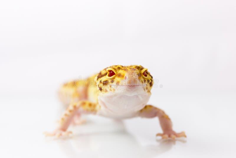 Πορτοκαλί gecko λεοπαρδάλεων στοκ φωτογραφία με δικαίωμα ελεύθερης χρήσης