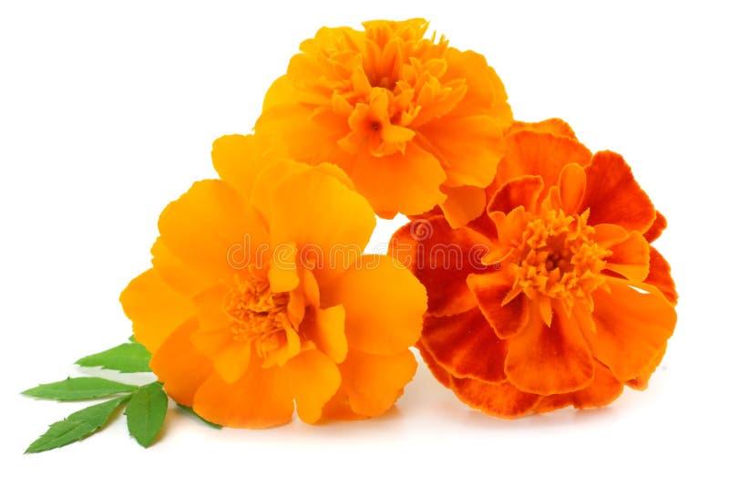 Πορτοκαλί Marigold λουλούδι, erecta Tagetes, μεξικάνικο marigold, των Αζτέκων marigold, αφρικανικό marigold που απομονώνεται στο  στοκ εικόνα με δικαίωμα ελεύθερης χρήσης