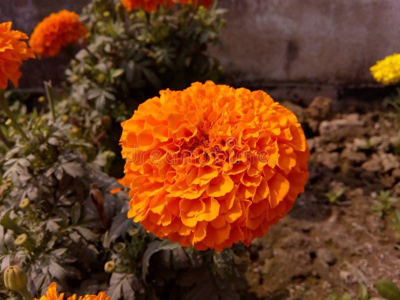 Πορτοκαλί marigold στοκ εικόνες