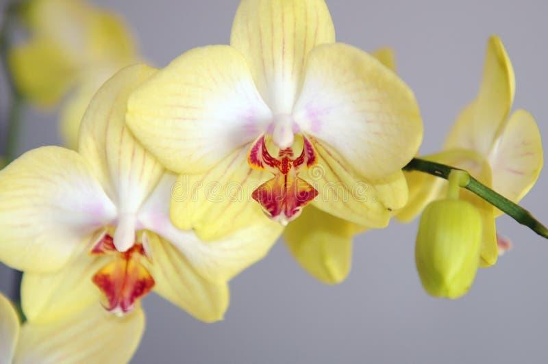 πορτοκαλί orchid ανασκόπησης στοκ εικόνα