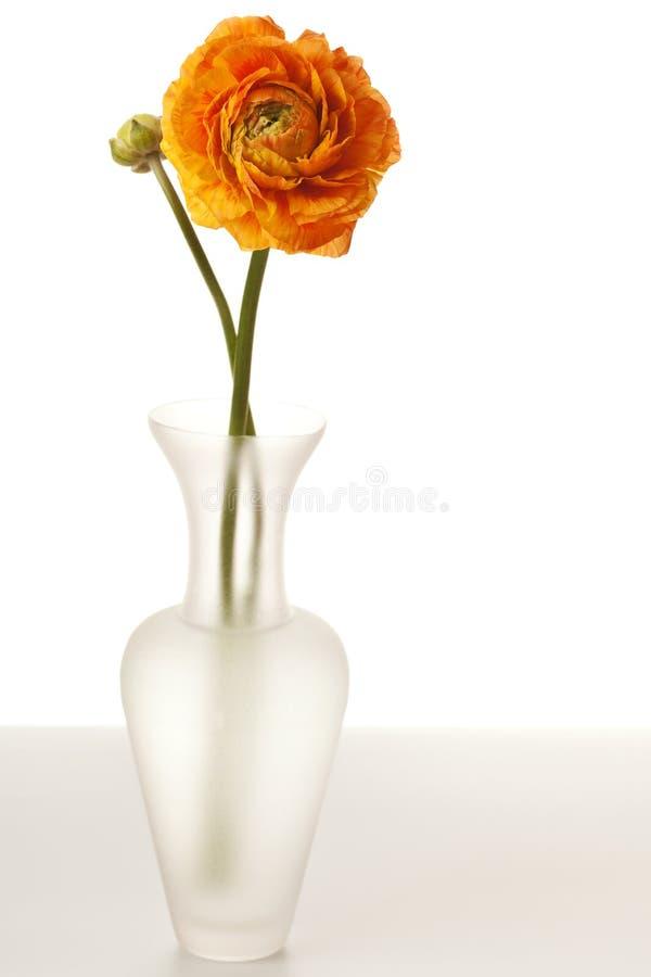 πορτοκαλί ranunculu στοκ εικόνες