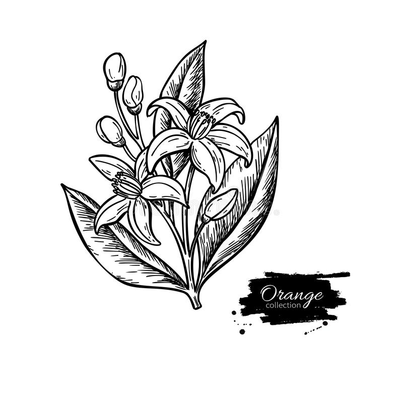 Πορτοκαλιά άνθιση λουλουδιών δέντρων ανασκόπηση που σύρει το floral διάνυσμα χλόης Χαραγμένη εκλεκτής ποιότητας απεικόνιση Απομον διανυσματική απεικόνιση