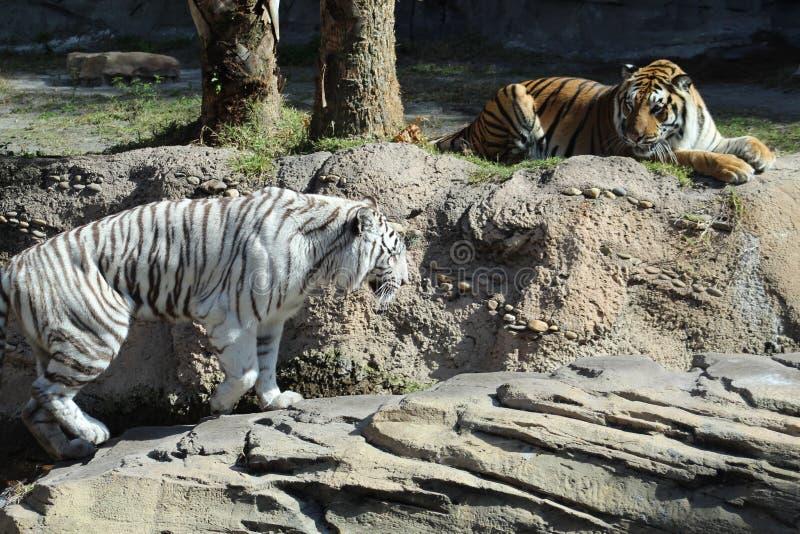 Πορτοκαλιά άσπρη τίγρη τιγρών στους βράχους στοκ φωτογραφία με δικαίωμα ελεύθερης χρήσης