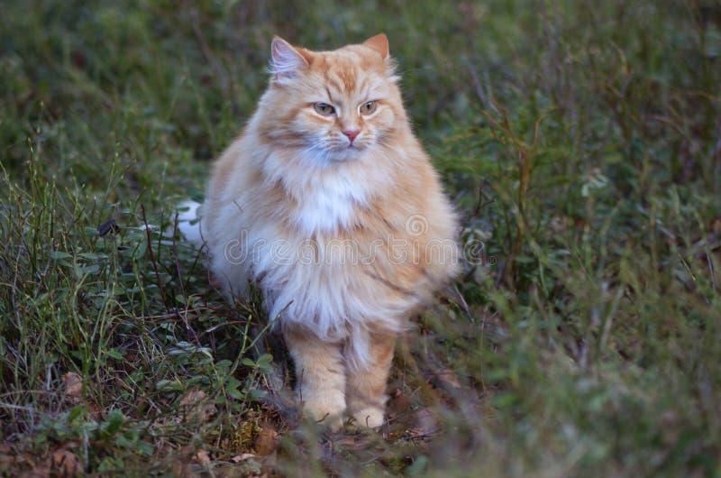 Πορτοκαλιά γάτα στοκ φωτογραφίες με δικαίωμα ελεύθερης χρήσης