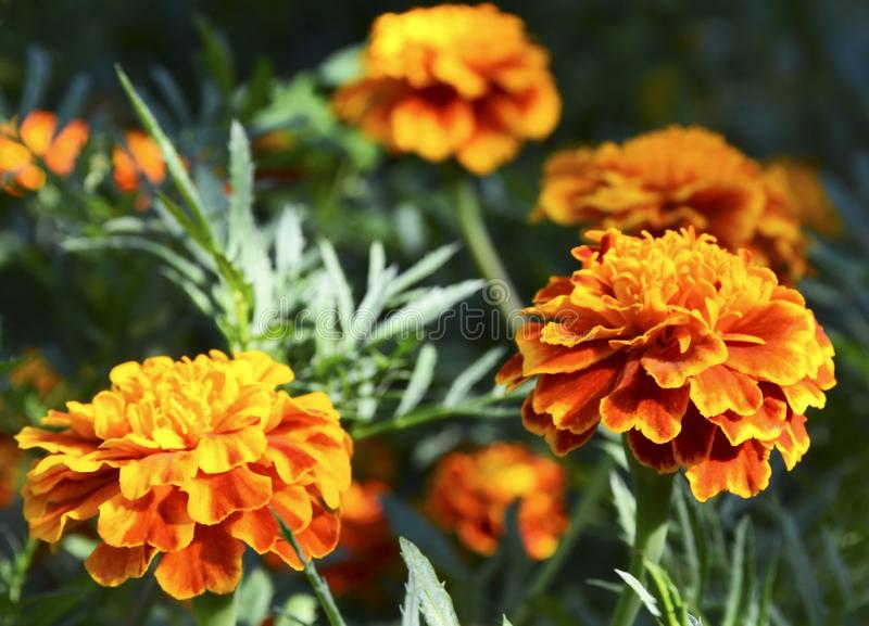 Πορτοκαλιά κίτρινα γαλλικά marigold ή Tagetes λουλούδια patula στο θερινό κήπο Marigolds floral υπόβαθρο με το διάστημα αντιγράφω στοκ φωτογραφία