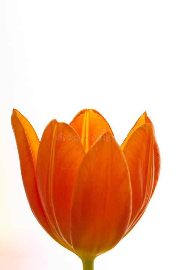 Πορτοκαλιά και κόκκινη κινηματογράφηση σε πρώτο πλάνο λουλουδιών τουλιπών στοκ φωτογραφία με δικαίωμα ελεύθερης χρήσης