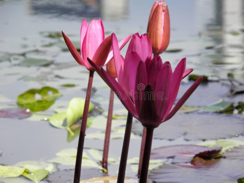 Πορτοκαλιά και ρόδινα υδρόβια λουλούδια πλήκτρο το ΟΝ στοκ εικόνα