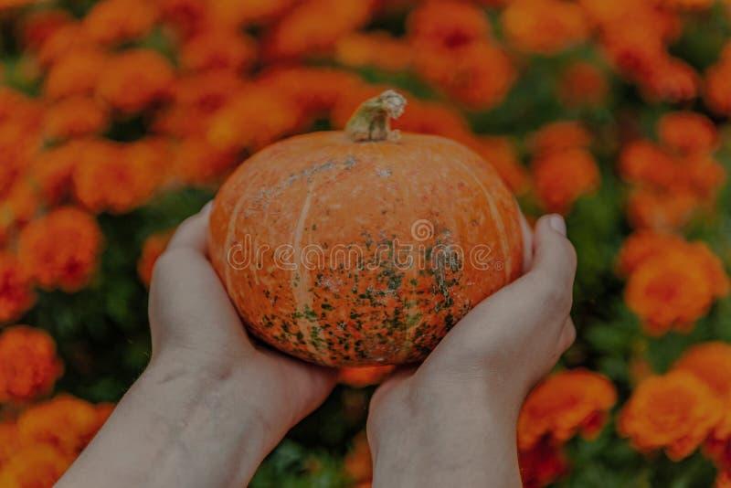 Πορτοκαλιά κολοκύθα στα χέρια στοκ φωτογραφίες