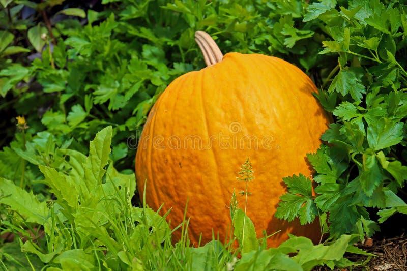 Πορτοκαλιά κολοκύθα στο θερινό κήπο στοκ φωτογραφίες με δικαίωμα ελεύθερης χρήσης