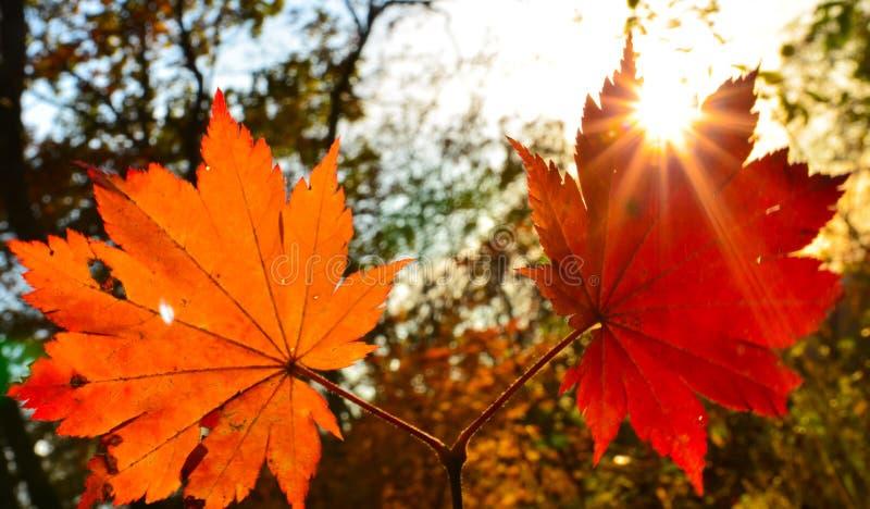 Πορτοκαλιά κόκκινα, πορτοκαλιά, ηλιακά δέντρα φθινοπώρου φύλλων ο κλάδος, φύλλο σφενδάμου, Primorsky Krai στοκ εικόνα με δικαίωμα ελεύθερης χρήσης