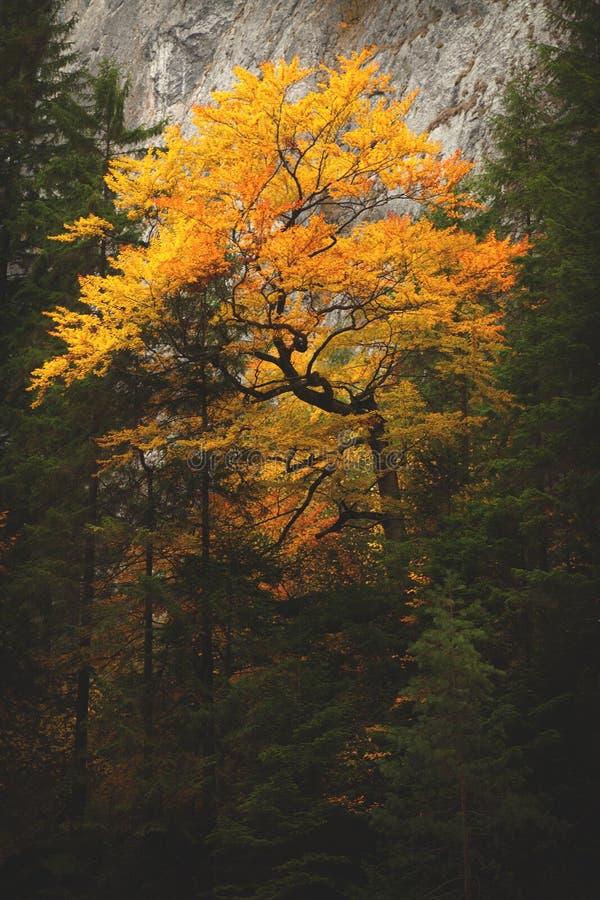 Πορτοκαλιά λεπτομέρεια δέντρων φύλλων κατά τη διάρκεια του φθινοπώρου στοκ φωτογραφία