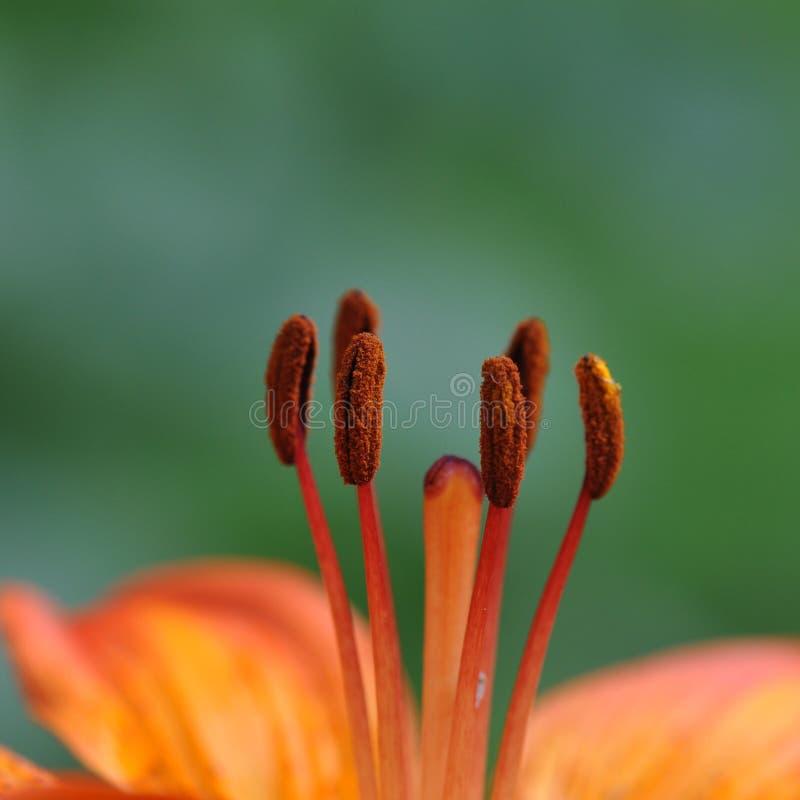 Πορτοκαλιά λεπτομέρεια κρίνων ημέρας στοκ εικόνα με δικαίωμα ελεύθερης χρήσης