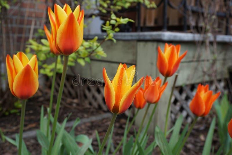 Πορτοκαλιά λουλούδια στον κήπο στοκ φωτογραφία
