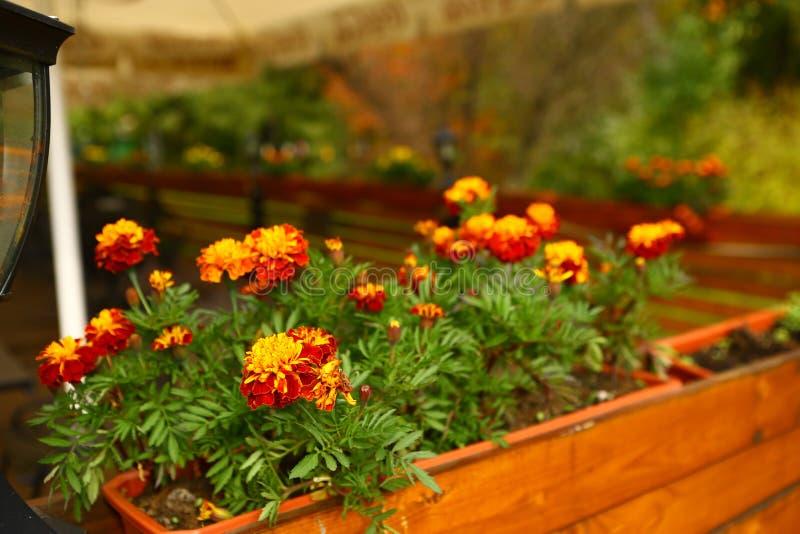 Πορτοκαλιά λουλούδια στο κιβώτιο λουλουδιών στοκ φωτογραφία