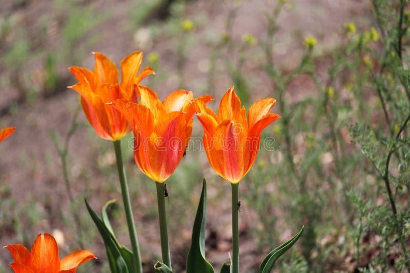 Πορτοκαλιά λουλούδια τουλιπών φλογών τρίο στοκ εικόνες με δικαίωμα ελεύθερης χρήσης