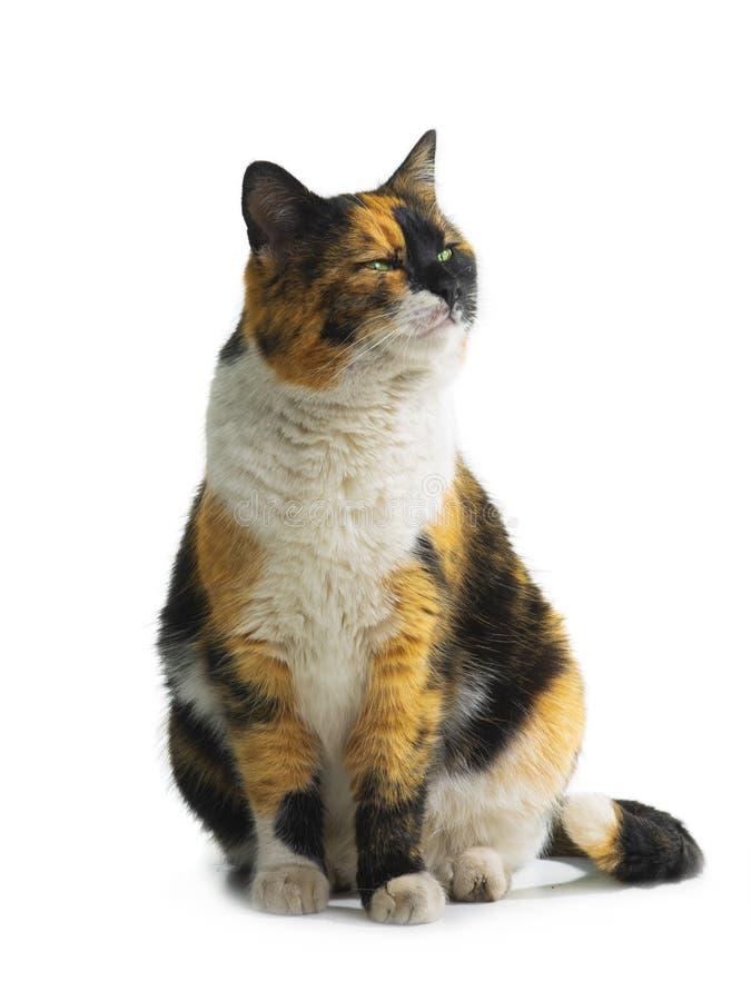 Πορτοκαλιά μαύρη άσπρη γάτα στοκ φωτογραφία