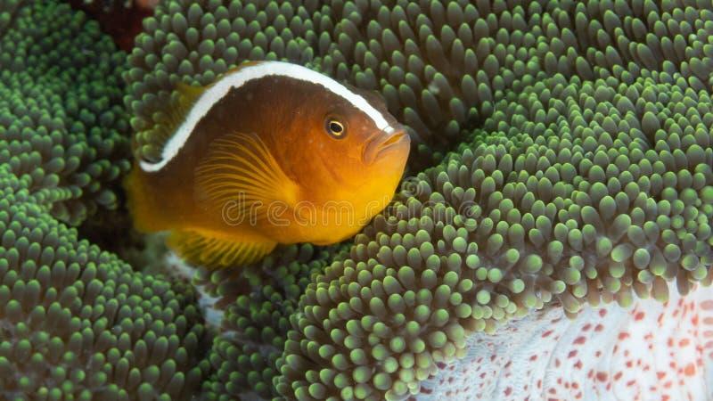 Πορτοκαλιά μεφίτιδα clownfish, sandaracinos Amphiprion Bangka Σκάφανδρο που βουτά στο Βορρά Sulawesi, Ινδονησία στοκ φωτογραφίες