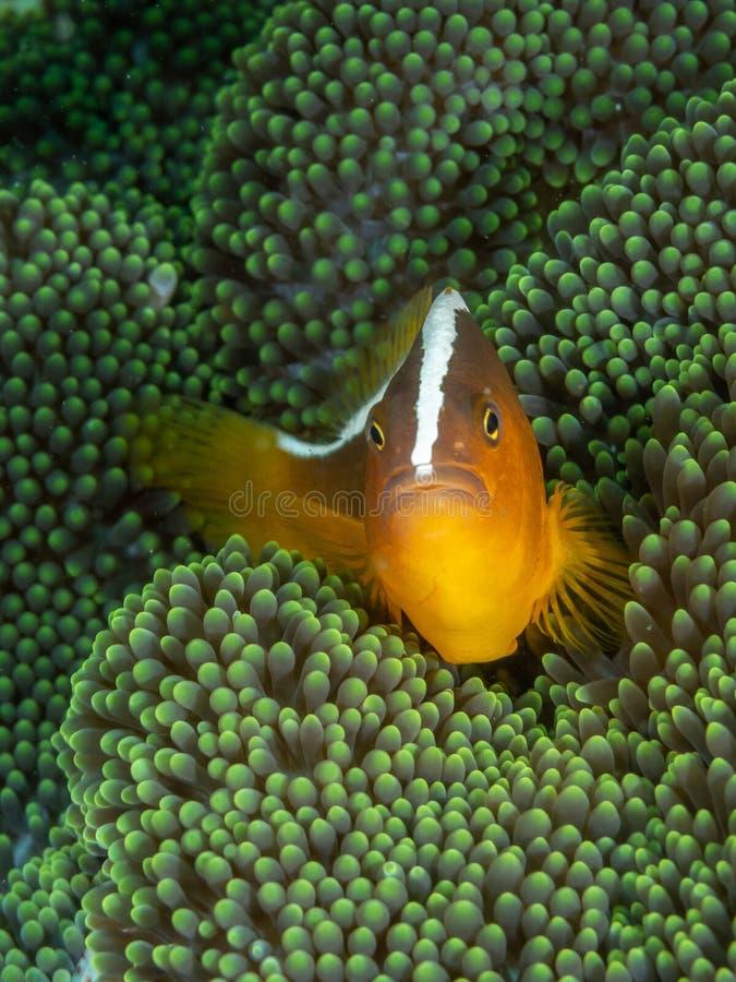 Πορτοκαλιά μεφίτιδα clownfish, sandaracinos Amphiprion Bangka Σκάφανδρο που βουτά στο Βορρά Sulawesi, Ινδονησία στοκ εικόνα