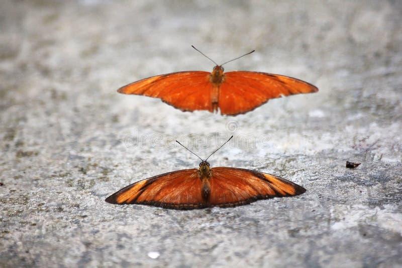 Πορτοκαλιά πεταλούδα άλμπατρος στη φυλή στο πάτωμα στοκ φωτογραφίες