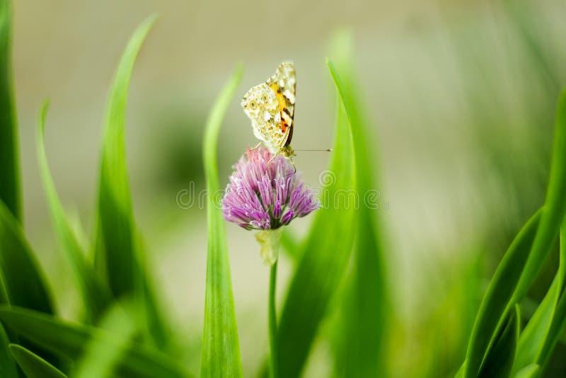 Πορτοκαλιά πεταλούδα σε ένα ιώδες λουλούδι, μακρο πυροβολισμός, θερινή ηλιόλουστη ημέρα r μαλακή εστίαση, bokeh, διάστημα για το  στοκ εικόνες