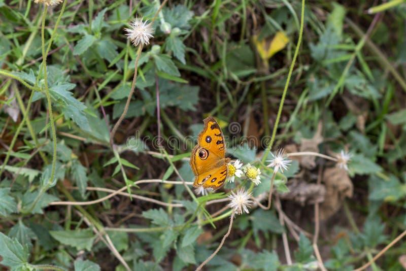 Πορτοκαλιά πεταλούδα στο άγριο άσπρο λουλούδι, τροπική φωτογραφία φύσης Πεταλούδα με τα μάτια στα φτερά στοκ φωτογραφία με δικαίωμα ελεύθερης χρήσης