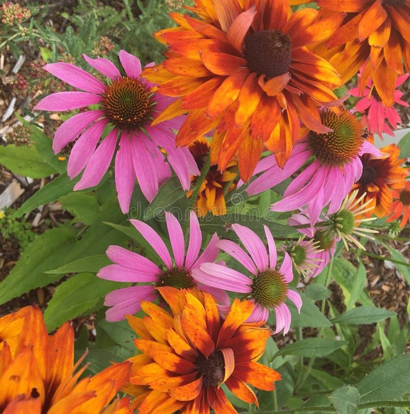 Πορτοκαλιά ρόδινα λουλούδια στοκ εικόνες