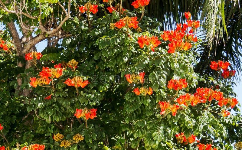Πορτοκαλιά τροπικά λουλούδια σε ένα μεγάλο δέντρο στοκ φωτογραφία με δικαίωμα ελεύθερης χρήσης