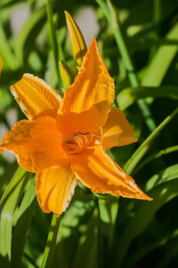 Πορτοκαλιά daylily hemerocallis στοκ φωτογραφία με δικαίωμα ελεύθερης χρήσης