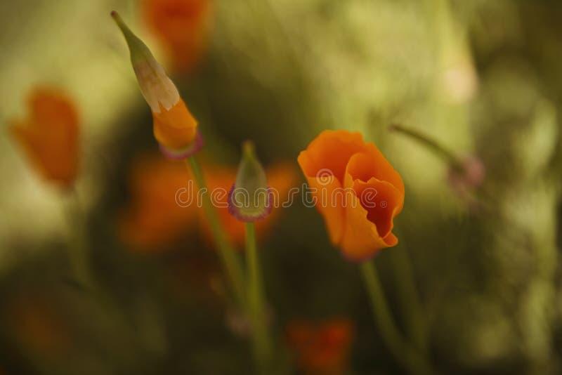 πορτοκαλιές άγρια περιο στοκ εικόνες