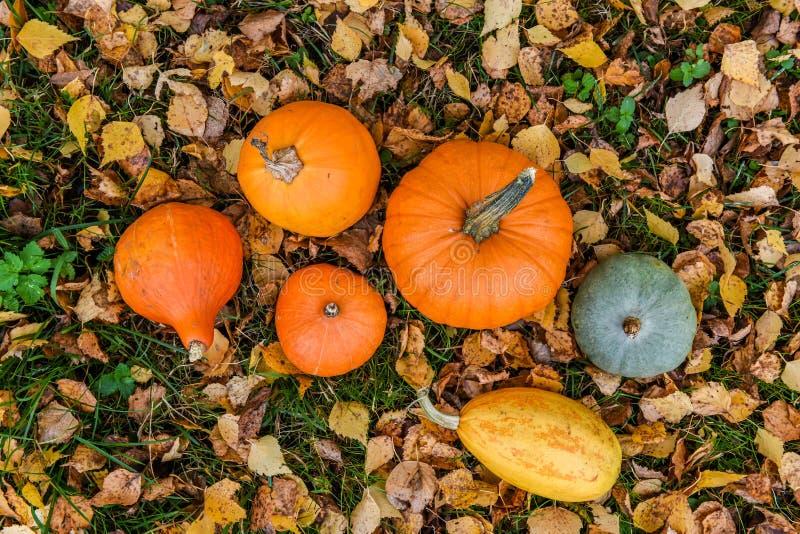 Πορτοκαλιές κολοκύθες στα πλαίσια του φυλλώματος φθινοπώρου στοκ φωτογραφία με δικαίωμα ελεύθερης χρήσης