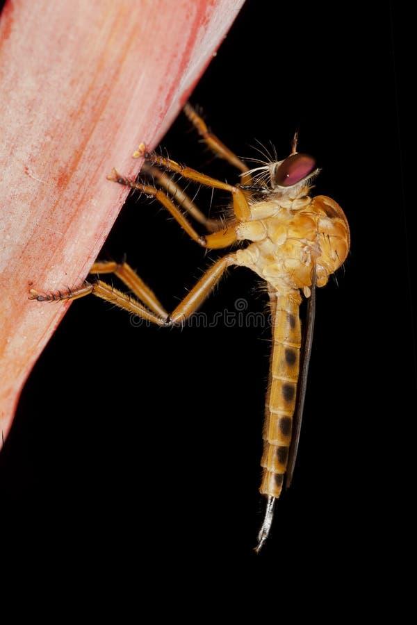 Πορτοκαλιές μύγες ληστών στοκ φωτογραφίες με δικαίωμα ελεύθερης χρήσης