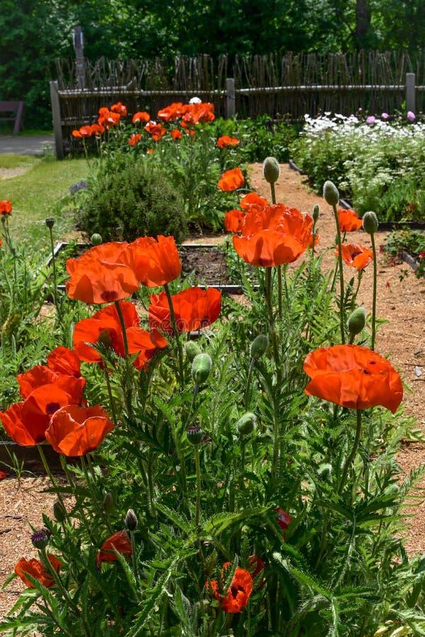 Πορτοκαλιές παπαρούνες που ανθίζουν στον κήπο λουλουδιών στοκ φωτογραφία
