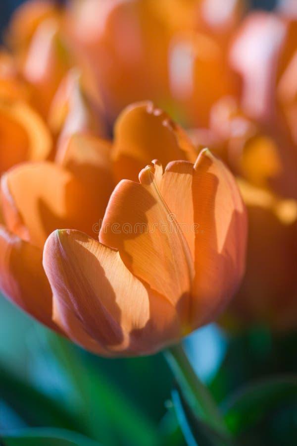 πορτοκαλιές τουλίπες στοκ εικόνες με δικαίωμα ελεύθερης χρήσης