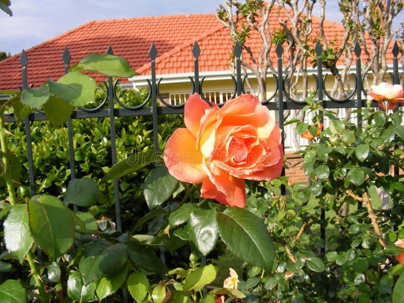 Πορτοκαλής αυξήθηκε δίπλα σε έναν φράκτη Pallisade στοκ φωτογραφία