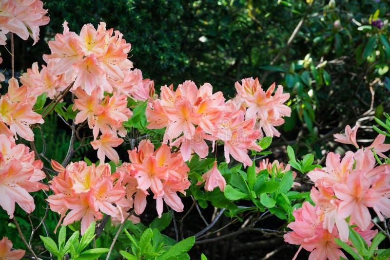 Πορτοκαλής κήπος κρίνων στοκ φωτογραφίες με δικαίωμα ελεύθερης χρήσης
