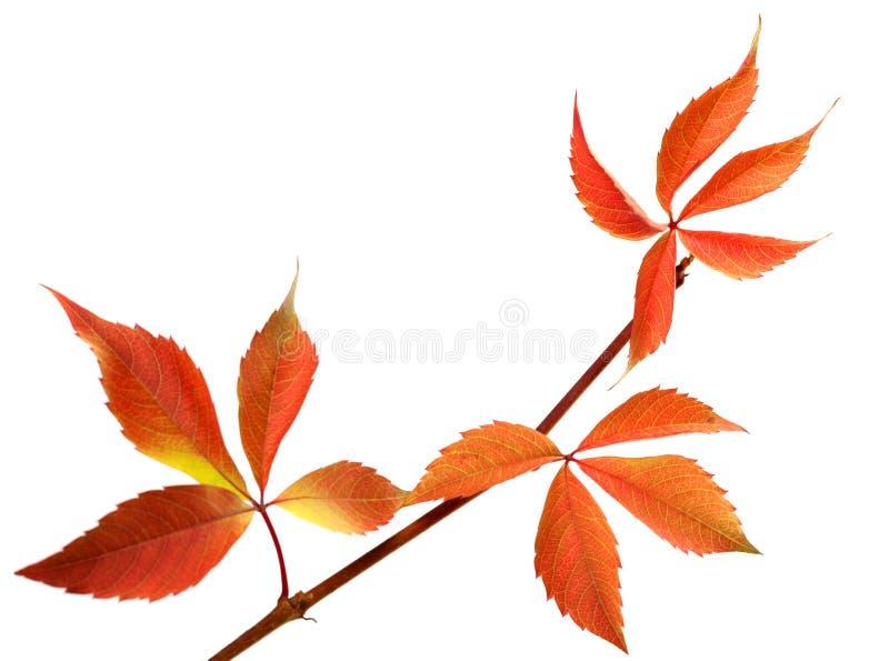 Πορτοκαλής φθινοπωρινός κλαδίσκος των φύλλων σταφυλιών (quinquefol Parthenocissus στοκ φωτογραφία με δικαίωμα ελεύθερης χρήσης